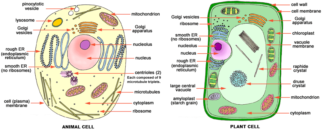 Cells in Human Body Amazing World of Science with Mr  Green